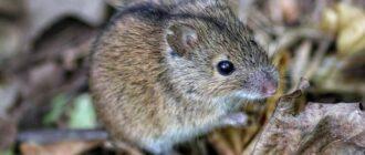 Мышка полевка: фото