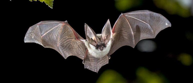 Летучая мышь: фото крупным планом